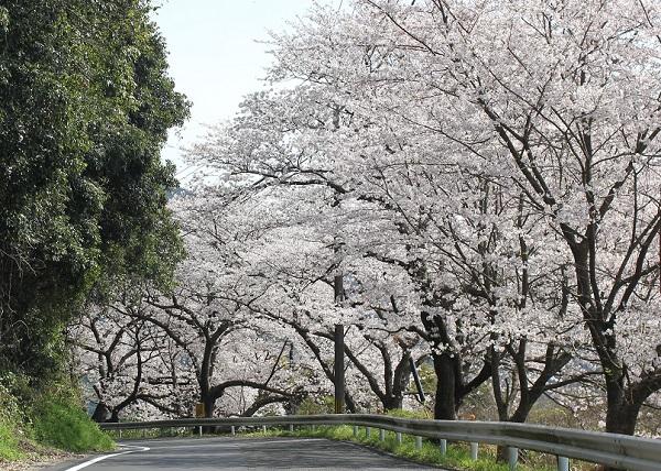 満開の桜並木の写真