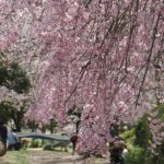 のぞみ公園の枝垂桜の写真