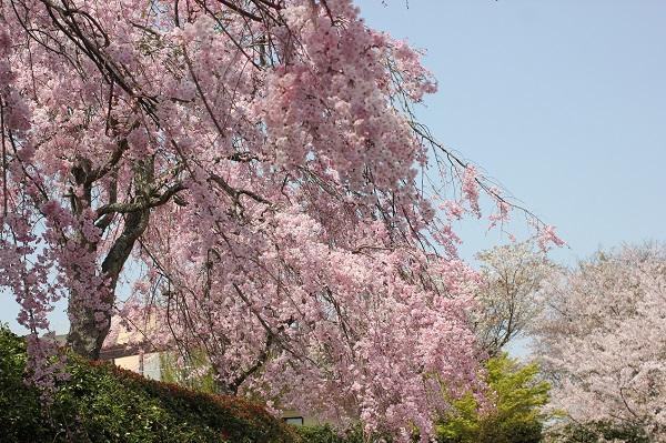綺麗なしだれ桜の写真