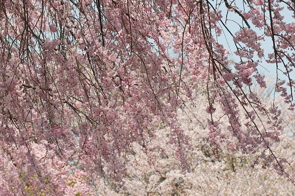 しだれ桜とソメイヨシノ、他の桜の写真