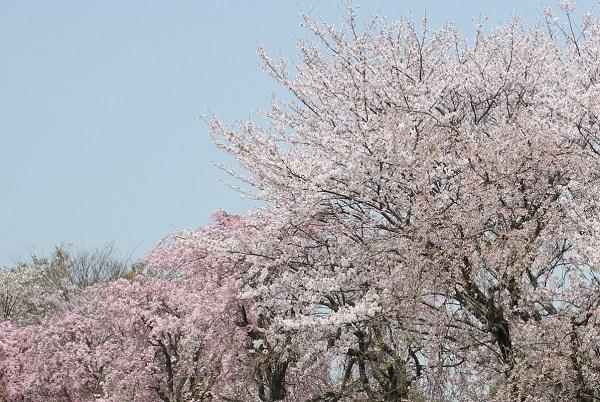 満開の桜の様子の写真