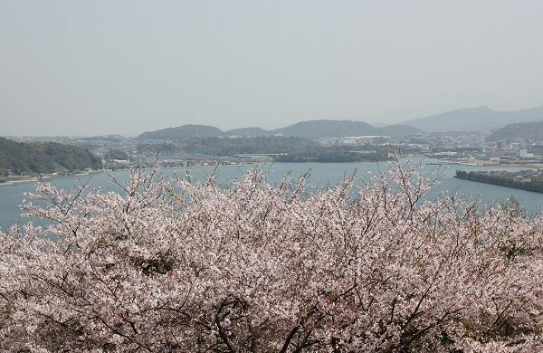 大村湾と満開の桜の写真