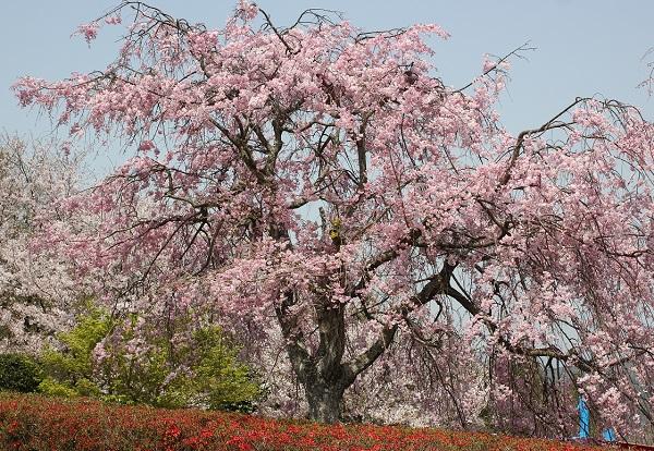 大きなしだれ桜の写真
