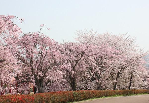 しだれ桜の並木道の写真