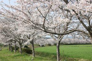 波佐見、桜の並木道の写真
