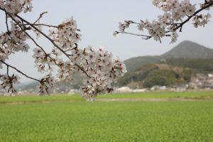 波佐見の桜