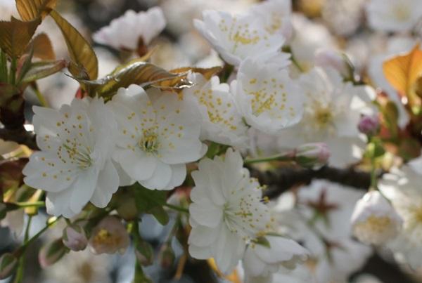 めしべが大きい桜のアップ写真