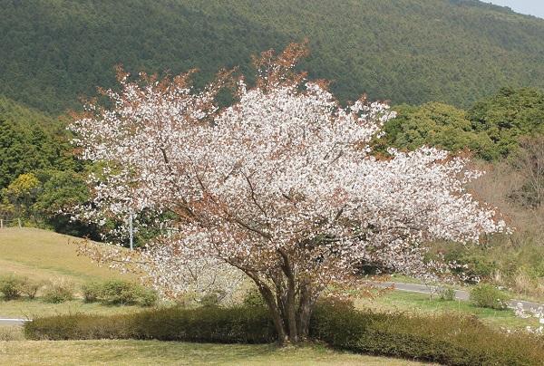 山を背景にした大きな桜の木の写真