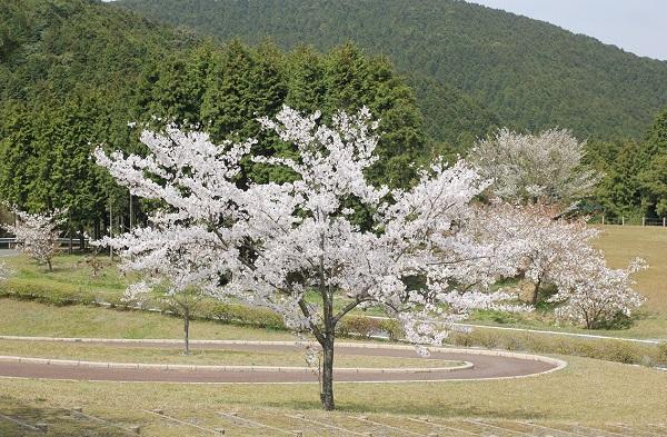 山を背景にしたソメイヨシノの写真