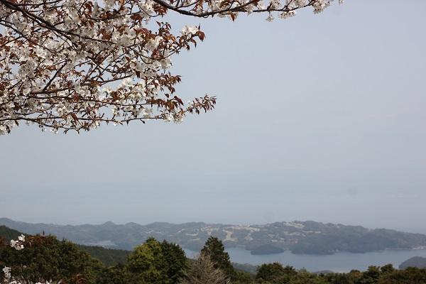 赤水公園、大村湾と桜の写真