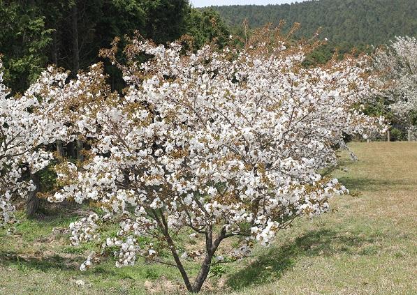 公園に桜がたくさん咲いてる写真