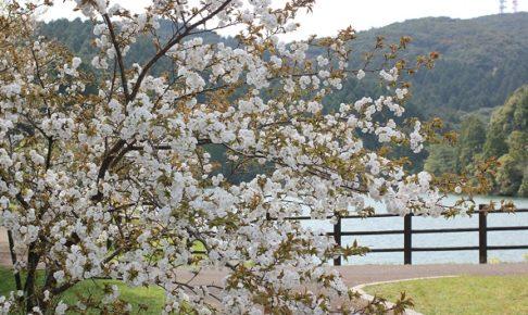 赤水公園の池と桜の写真