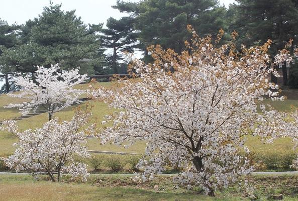 芝生の公園、桜と松の写真