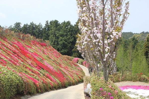 ツツジの壁と八重桜と山の風景写真