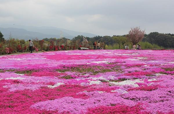 満開の芝桜庭園の写真
