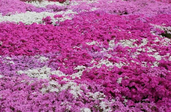ピンクと白鮮やかな芝桜の写真