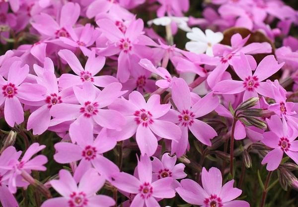 ピンクの芝桜のアップ写真