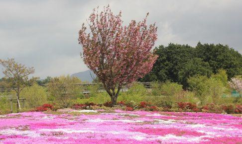松本つつじの芝桜とつつじの風景写真