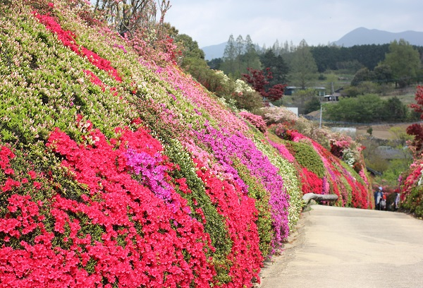 色とりどりのツツジの壁と山の風景写真