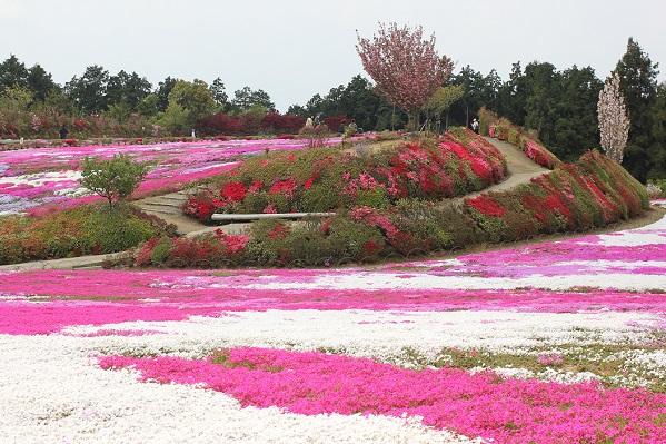 松本つつじ園、芝桜とツツジの写真