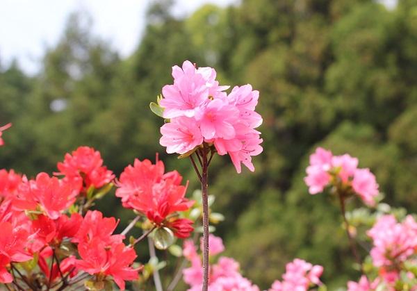 ピンクの可愛らしいツツジの写真