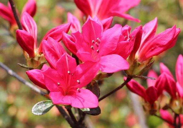ショッキングピンクの美しい見事なツツジの写真