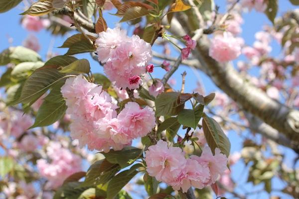 満開の八重桜、アップの写真