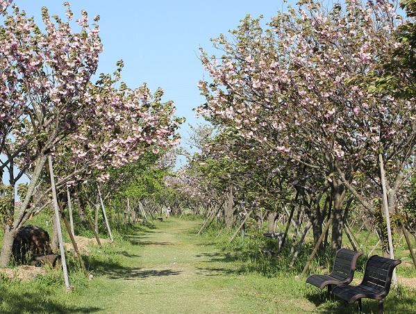 敷地内の八重桜の小道の写真