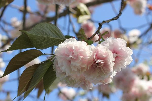 ピンクの八重桜のアップ写真