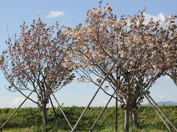 満開の八重桜の木の写真