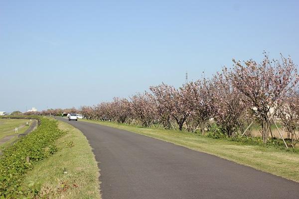川沿いの桜並木の写真