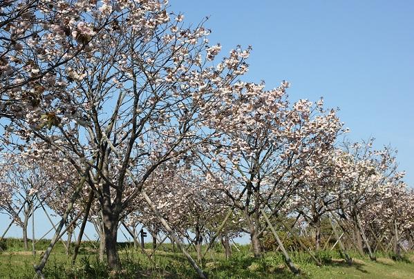 八重桜がたくさん並んでる写真