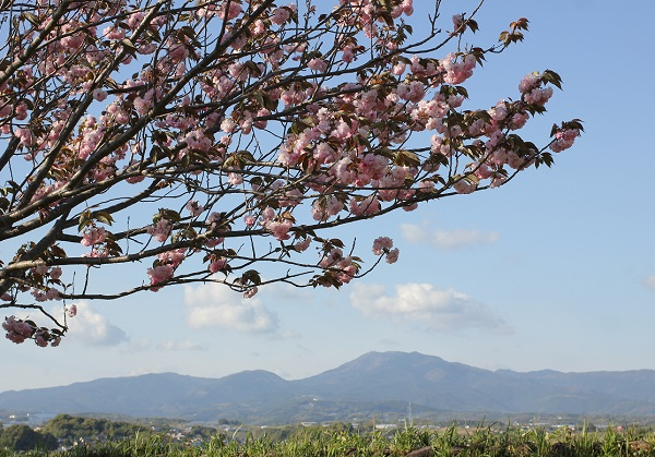 八重桜と山の風景写真
