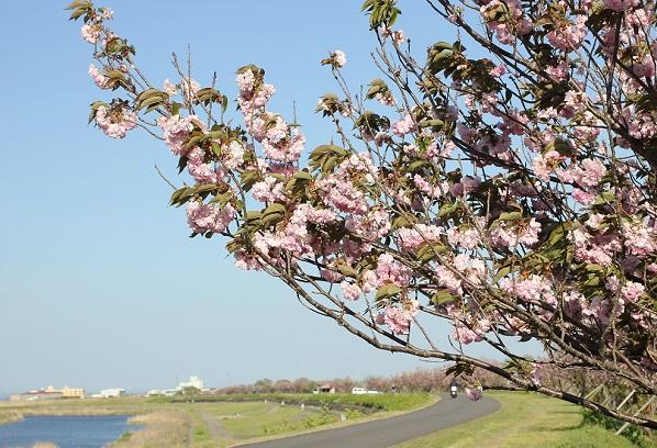 本明川 花づつみロード、八重桜の写真