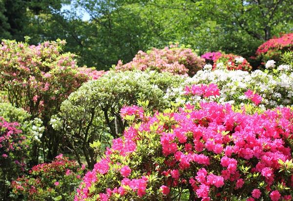 ツツジがたくさん咲いてる様子の写真