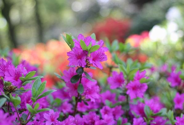 濃いピンクの綺麗なツツジの写真