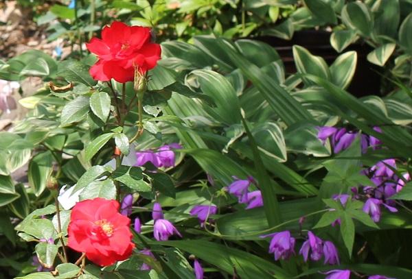 バラと紫の小花の写真