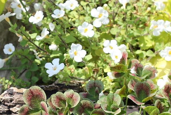 クローバーと白の小花の写真