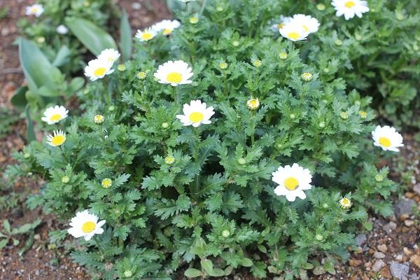 2月になって花が咲いたのノースポールの花壇の写真