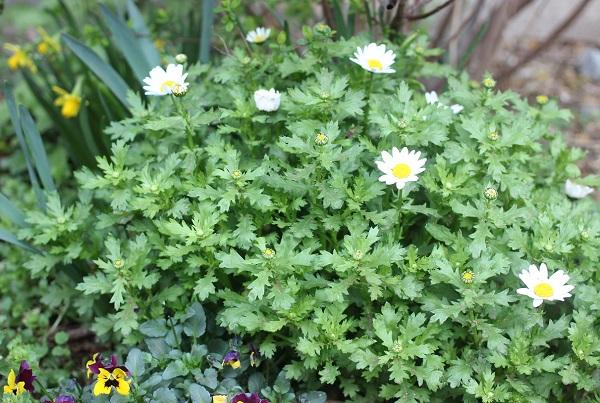 花壇に植えてるノースポールとビオラや水仙の写真