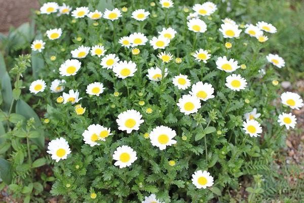 3月、ノースポールがたくさん咲いた花壇の写真