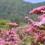 雲仙の池の原のミヤマキリシマの写真
