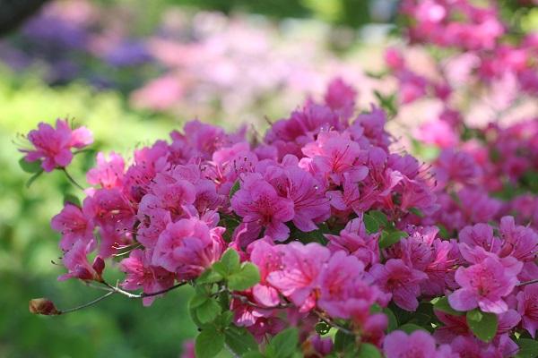 ピンクのミヤマキリシマアップの写真