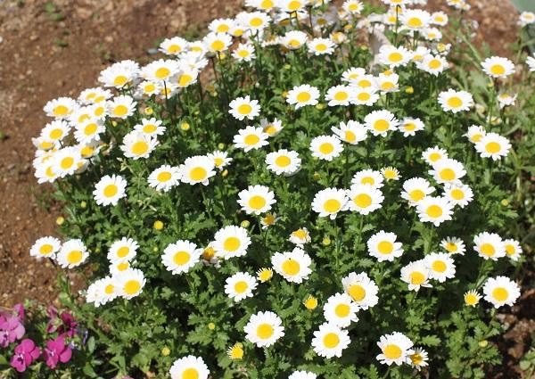 4月になってノースポールが満開になった花壇の写真