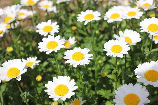 花壇のノースポール、アップの写真