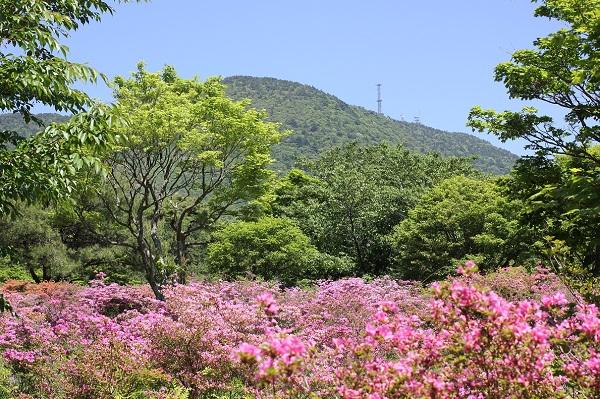 ミヤマキリシマ、池の原の写真