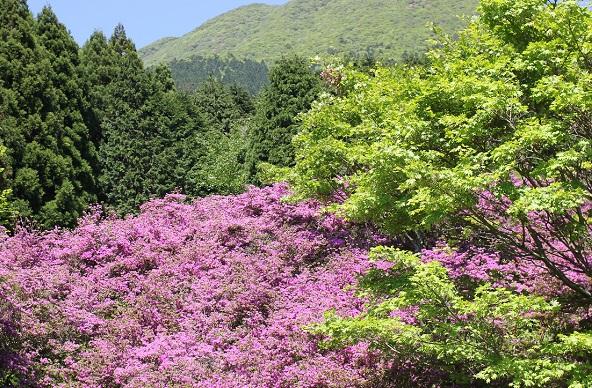 ピンクのミヤマキリシ群生と山の写真