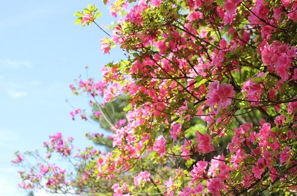 空とピンクのミヤマキリシマの写真