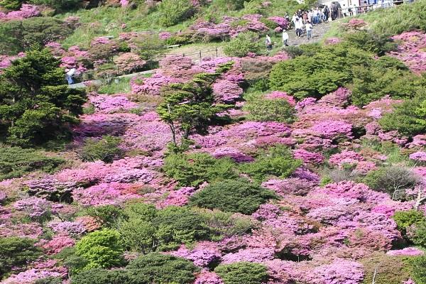 仁田峠のミヤマキリシマの写真(展望台付近)