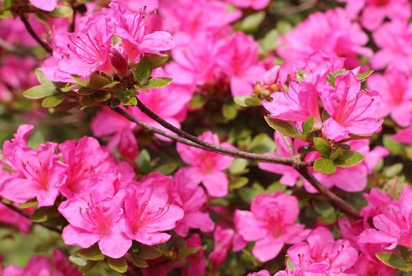 ピンクのミヤマキリシのアップの写真